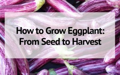 How to Grow Eggplant: From Seed to Harvest