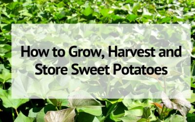 How to Grow, Harvest and Store Sweet Potatoes