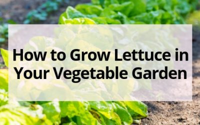 How to Grow Lettuce in Your Vegetable Garden