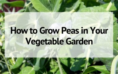 Growing Peas: How to Plant, Care, and Harvest