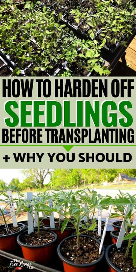 How to Harden Off Plants Before Transplanting + why you should