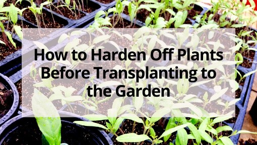 How to Harden Off Plants Before Transplanting to the Garden
