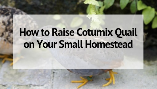 How to Raise Coturnix Quail on Your Small Homestead