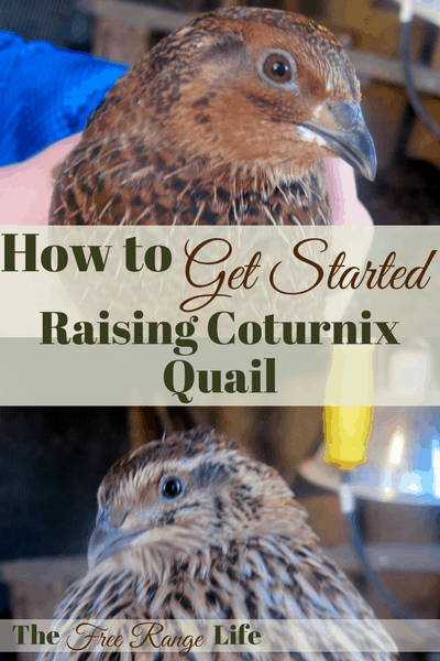 Coturnix quail are the perfect option for poultry on a smaller homestead. Learn how to get started raising coturnix quail for meat, eggs or both!
