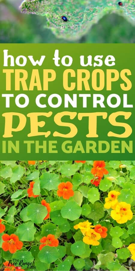 How to Use Trap Crops to Deter Pests in the Vegetable Garden