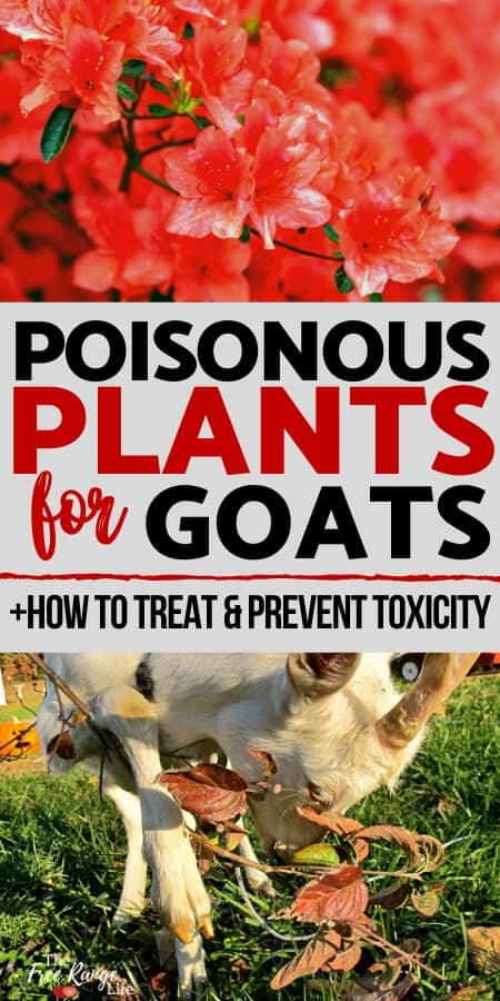 Poisonous plant for goats + how to treat and prevent toxicity text with red azaleas and a goat eating a branch