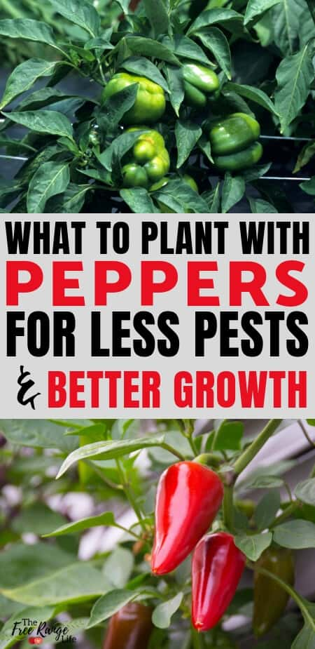 Vegetable Gardening: Companion planting can help your garden grow better. Learn which crops make the best companion plants for peppers in to improve flavor and deter pests!