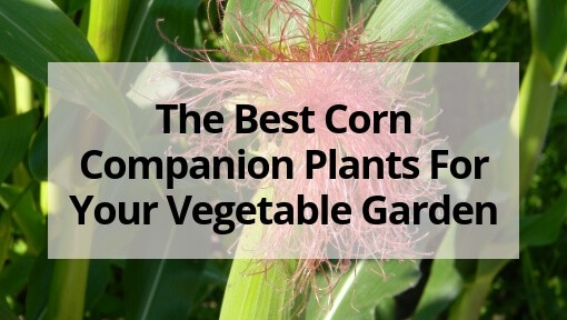 The Best Corn Companion Plants For Your Vegetable Garden