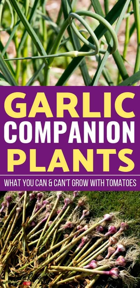 Vegetable Gardening for Beginners: Learn which crops are the best garlic companion plants to increase garden harvest, reduce pests, & improve flavor.