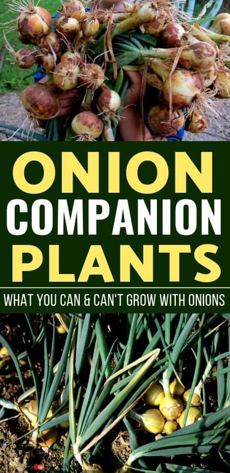 Vegetable Gardening Tips: Learn which crops are the best onion companion plants to increase your garden harvest, reduce pests, and improve flavor.