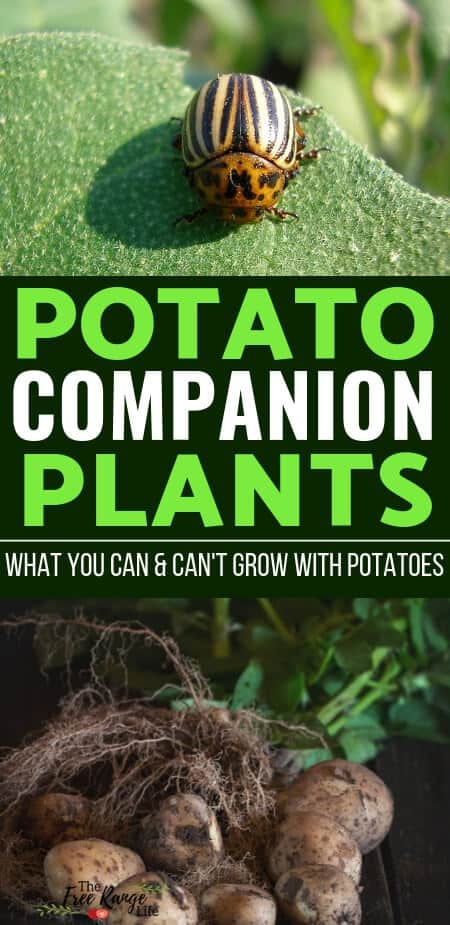 Vegetable Gardening for Beginners: Companion plants can help improve your garden organically. Learn which are the best potato companion plants to grow alongside your potato bed!