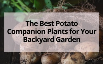 The Best Potato Companion Plants for Your Backyard Garden