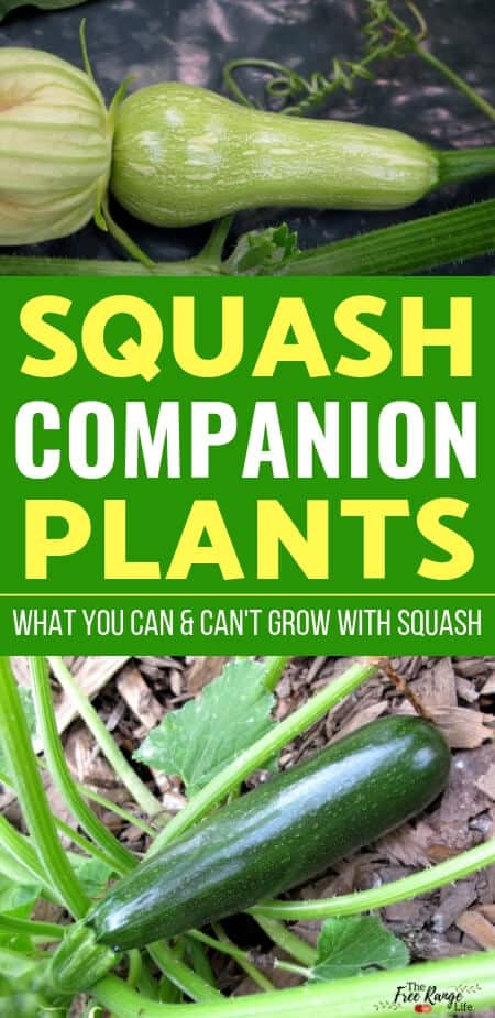 Vegetable Gardening- Learn what are the best squash companion plants to plant with both winter and summer squash for a better harvest and less pests