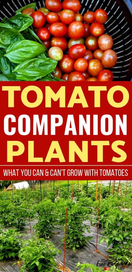 Vegetable Gardening Tips: Grow better tomatoes by learning which crops are the best tomato companion plants to increase your tomato harvest, reduce pests, and improve flavor.