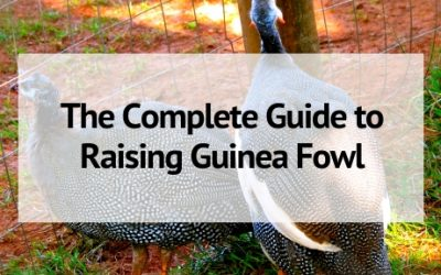 The Complete Guide to Raising Guinea Fowl