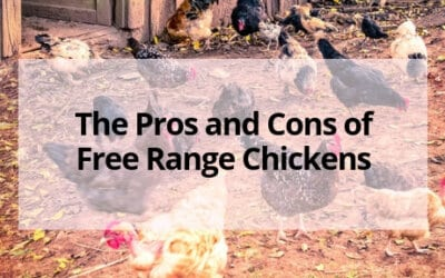 The Pros and Cons of Free Range Chickens