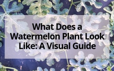 What Does a Watermelon Plant Look Like: A Visual Guide