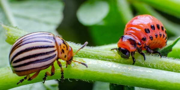 adult and larva potato beetle close up on a green plant