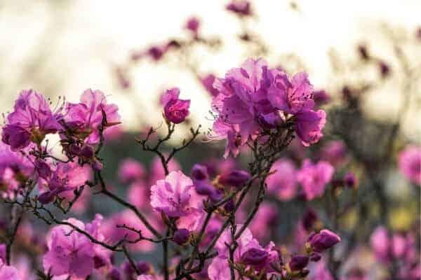 bright pink flowers on an azalea bush