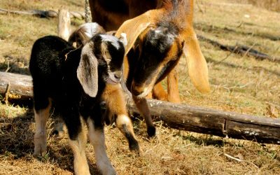B Vitamins and Your Goat's Health