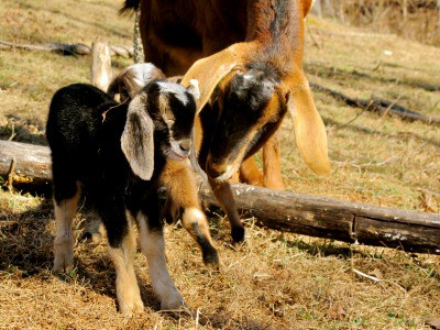b vitamins and your goat's health. How and when to use them to have a healthy goat.