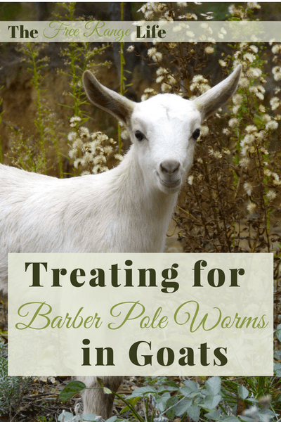 Barber Pole worms are blood sucking parasites that cause anemia and even death. Learn how to treat barber pole worms in goats and keep them away for good!