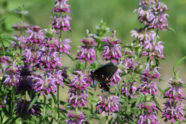stalks of purple bee balm with a butterfly