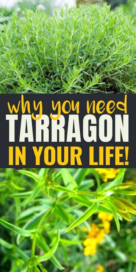 Herbs: Tarragon is a top culinary herb but it also has medicinal uses as well. Did you know it can be used to ease toothaches and fight anxiety? Tarragon is a wonderful herbal remedy for sleep, anxiety, and reproductive health.
