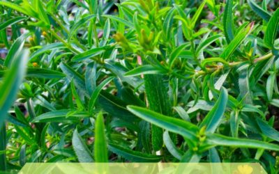 Nutritional and Medicinal Benefits of Tarragon