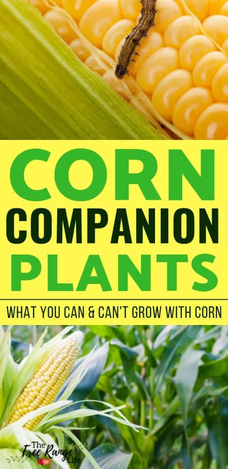 Companion Planting: Learn which crops are the best corn companion plants to improve the growth and flavor in your corn as well as deter pests