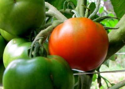 If you have a short growing season- or you just hate waiting- these 8 fast-growing, early tomato varieties will have you harvesting in less than 60 days!