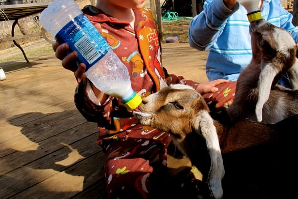 2 goat kids being bottle fed