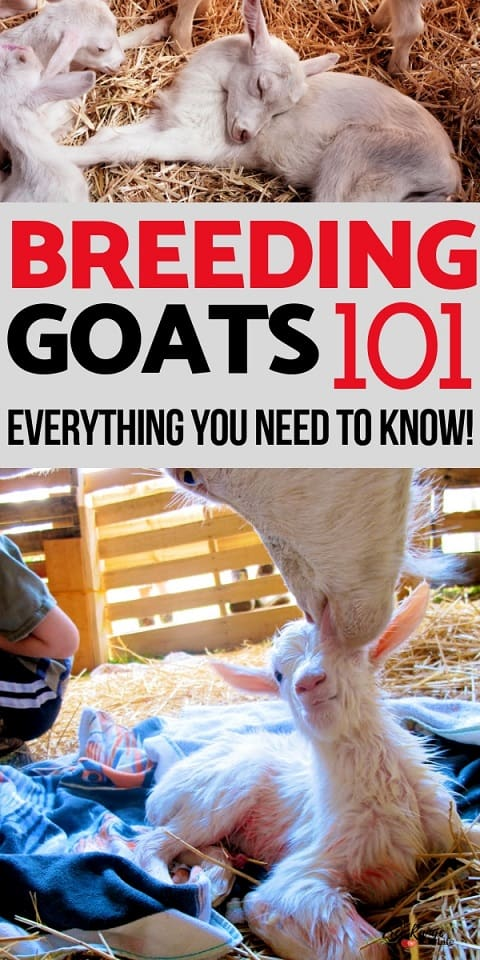 Raising Goats: Learn everything you need to know about breeding your goats!