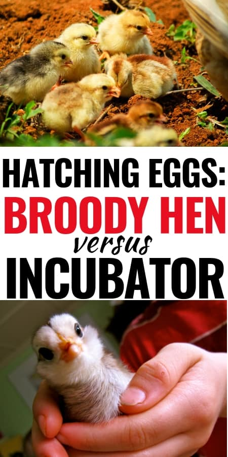 Backyard Chickens: Which is better broody hen or incubator? Get all the details so you can choose which option is best for you.