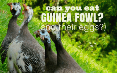 Can You Eat Guinea Fowl and Guinea Eggs?