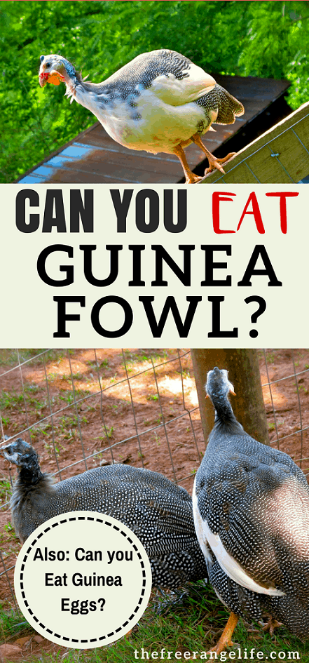 Can you eat guinea fowl? Can you eat guinea eggs? Yes! Get more information and guinea fowl recipes!