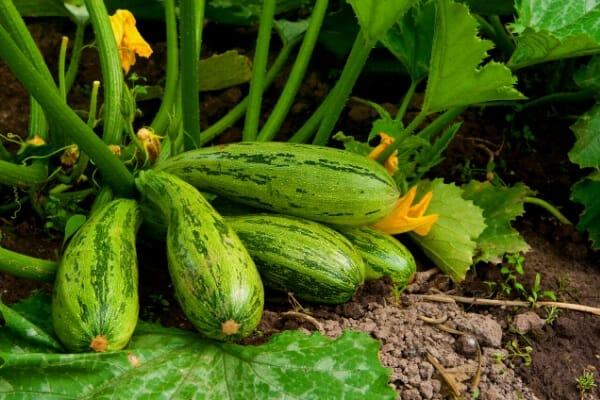 caserta summer squash plant in garden