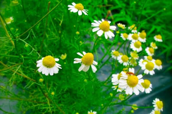 small yellow and white chamomile flowers in the vegetable garden