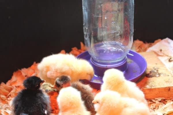 chicks drinking in box