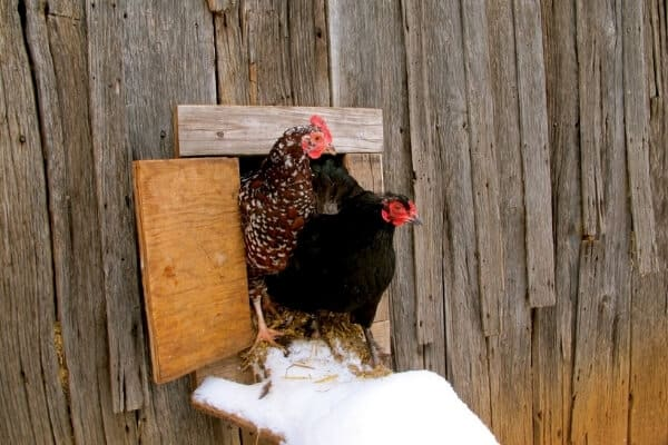 2 chickens standing at coop door in winter not wanting to go out in the snow