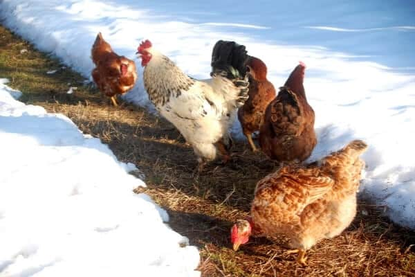 flock of chickens standing in shoveled path in a snow covered run