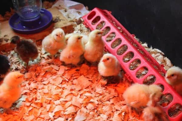 chicks in brooder box