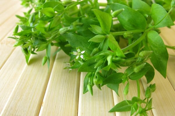 chickweed on a table