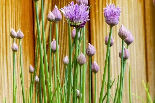 chives growing in the garden with purple flowers