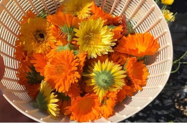 basket of calendula flowers