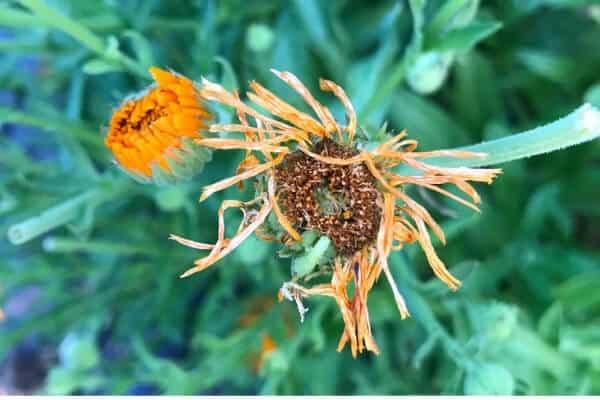 drying calendula flower head