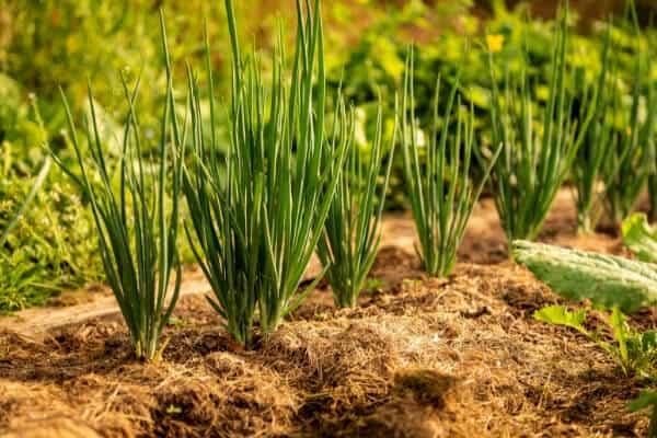 onions in garden