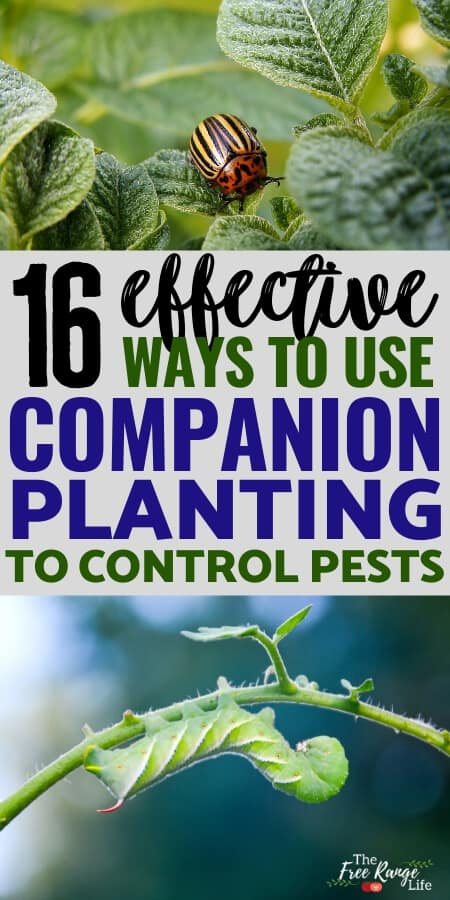 how to use companion planting to control pests