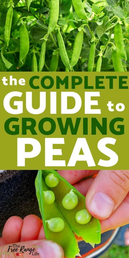 complete guide to growing peas