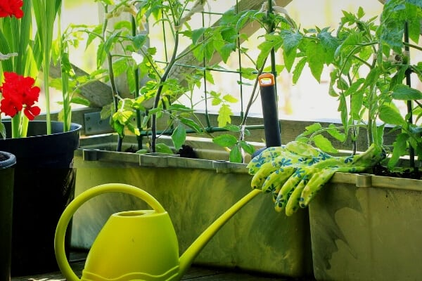 planters with tomatoes and a yellow watering can